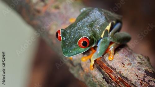 Photo red-eye tree frog  Agalychnis callidryas in terrarium