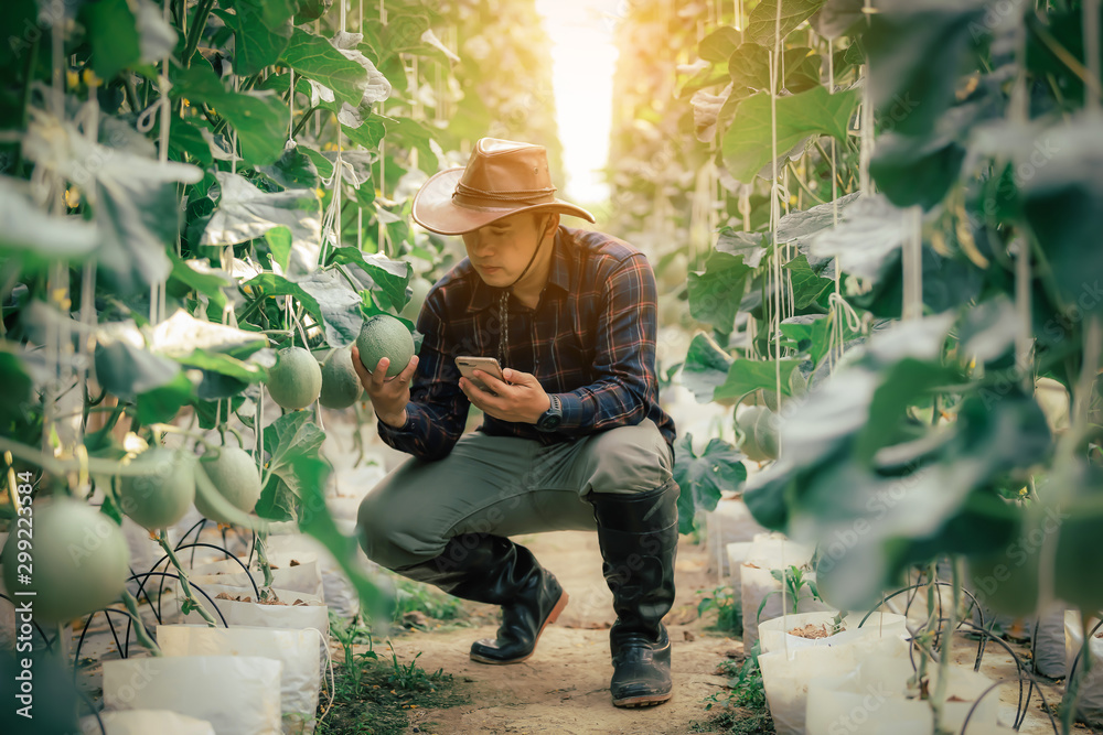 Fototapety, obrazy: Asian farmers check the Melon yield in the greenhouse
