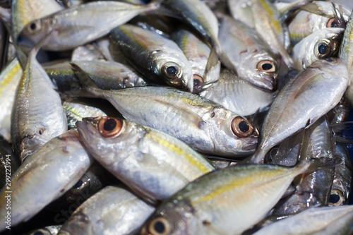 Yellowtail japanese amberjack, kingfish, seriola quinqueradiata, jack fish, mack Fototapeta