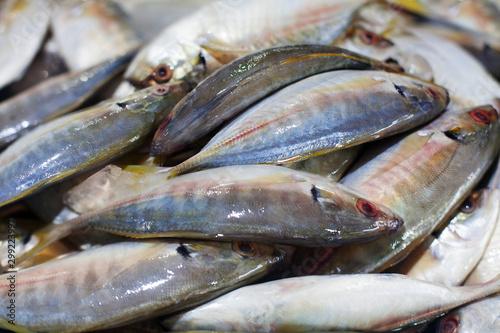 Fényképezés Yellowtail japanese amberjack, kingfish, seriola quinqueradiata, jack fish, mack