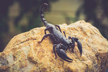 A Black Scorpion In Nature Wil...