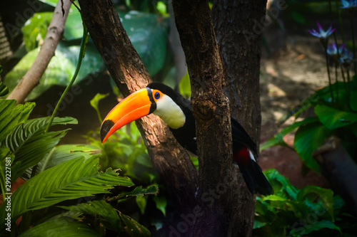 Colorful toucan bird of the amazonian forest Canvas Print