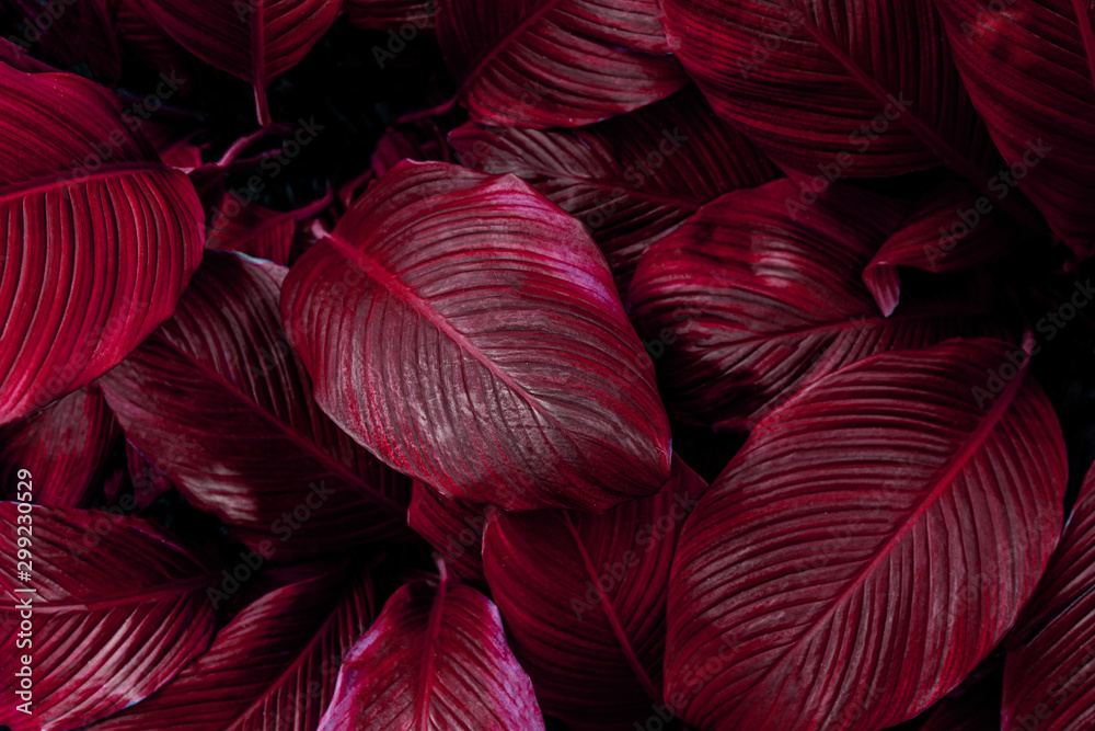 Fototapeta leaves of Spathiphyllum cannifolium, abstract colorful texture, nature background, tropical leaf