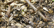 Small Frogs Camouflage On The Ground With Wood Chips.