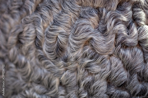 texture of gray astrakhan fur. natural background Wallpaper Mural