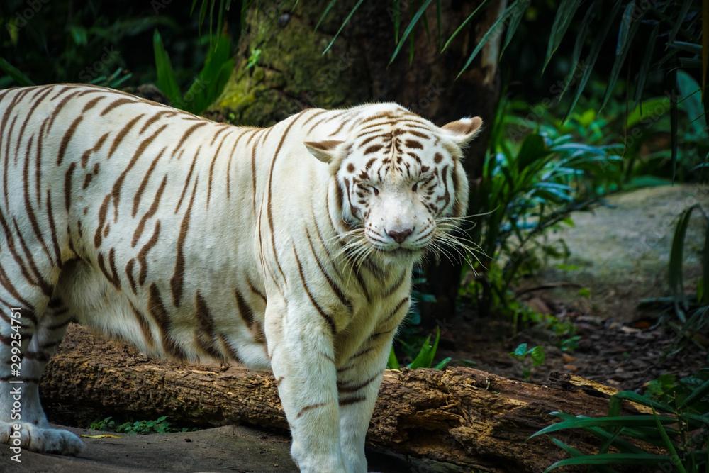 ジャングルに佇むホワイトタイガー