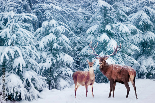 Obraz na plátně Beautiful Deer male  with big horns and deer female in the winter snowy forest