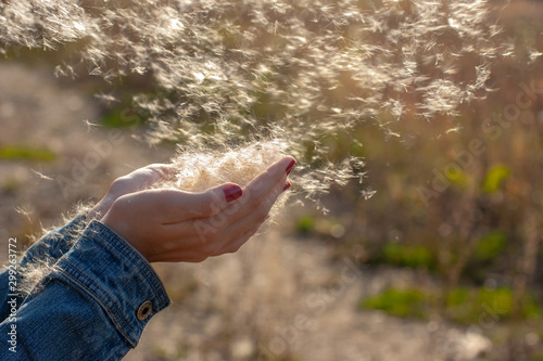Fotografie, Obraz  Female hands with fluff scattering in the wind