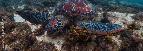 Colorful sea turtle (Cheloniidae) grazes in the tropical sea near the Apo island in Philippines