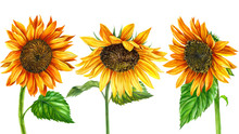 Sunflower On An Isolated White Background, Hand Drawing, Flowers Illustration