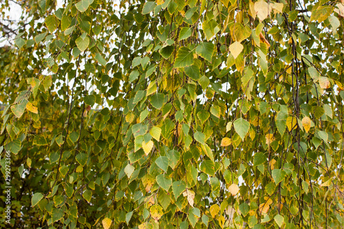 autumn background of weeping birch branches with green leaves that began to turn Fototapeta