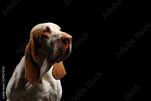 Fond de hotte en verre imprimé Chasse Portrait of Bracco Italiano Pointer Dog Stare at side on Isolated Black Background, profile view