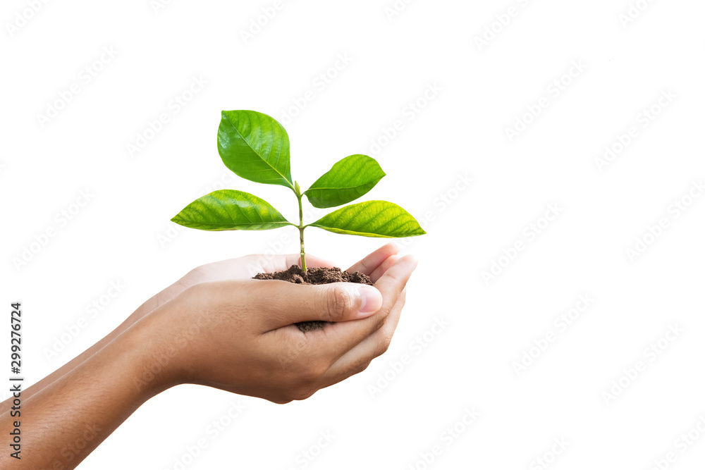 Fototapeta hand holding young plant isolate on white background