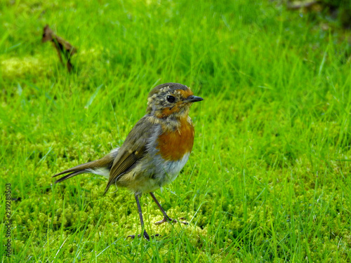 Foto Fledgling robin on a spring day in Scotland