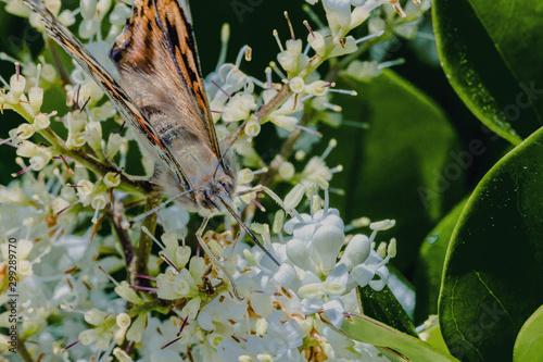 Monarch butterfly seeking nectar on a flower