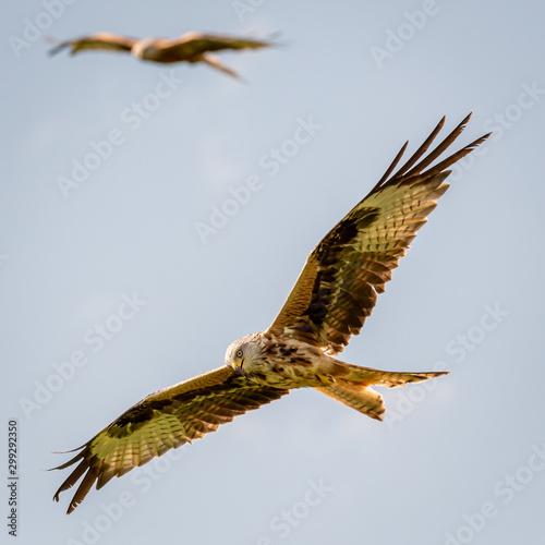 Photo  Red kites
