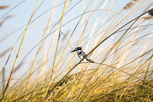 pied kingfisher in a reed bed of the okavango delta. African water birds, black and white kingfisher