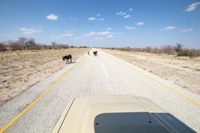 Donkeys Crossing A Deserted Asphalt Road In Africa, Yellow Lines And Asphalt In The Desert With Animals Crossing The Road