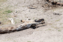 Giraffe Dead As A Result Of Drought In Africa, Corpse Of A Wild Giraffe Dead Due To Global Warming, Animals Dying Of Thirst Due To Drought, Bed Of A Dry River In Botswana