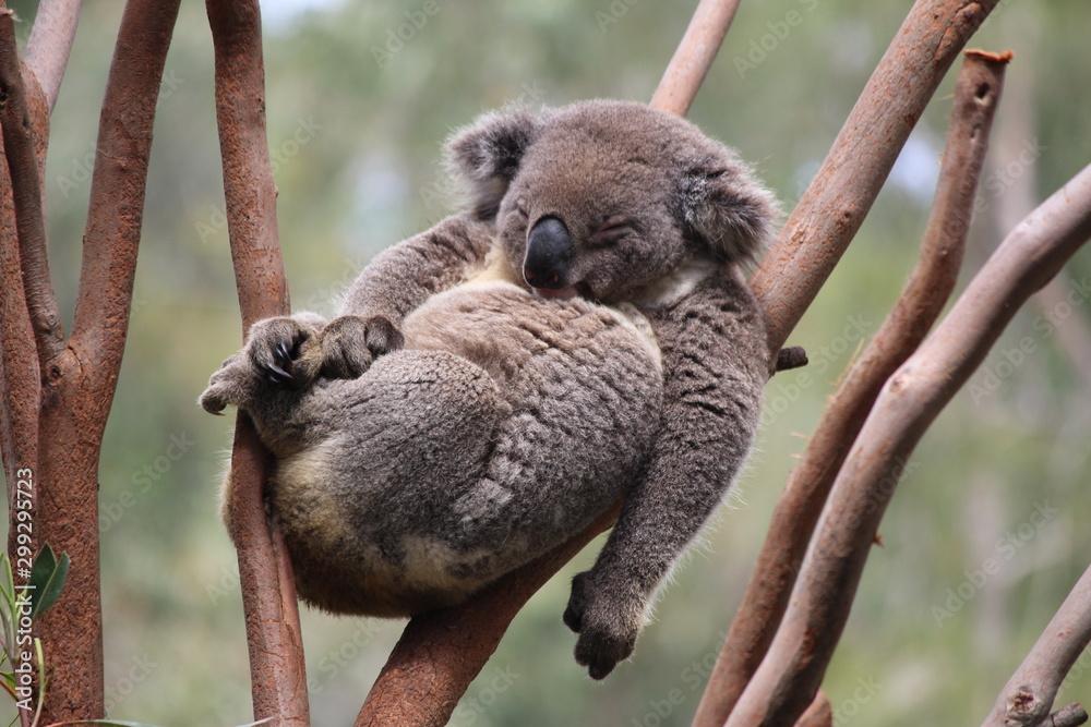 Fototapeta Relax Koala