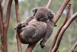 Fototapeta Zwierzęta - Relax Koala