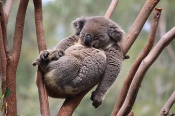 Relax Koala