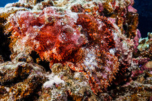 Scorpion Fish At The Red Sea, ...