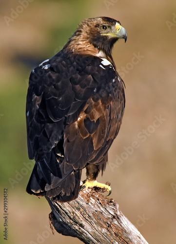 Aguila imperial ibérica Fotomurales