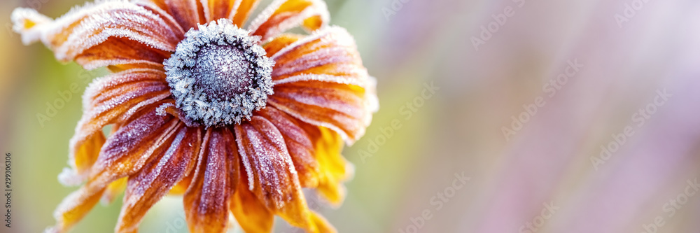 Fototapety, obrazy: Hoarfrost on Rudbeckia, Autumn Background