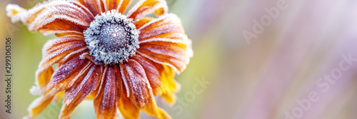 Obraz Hoarfrost on Rudbeckia, Autumn Background - fototapety do salonu