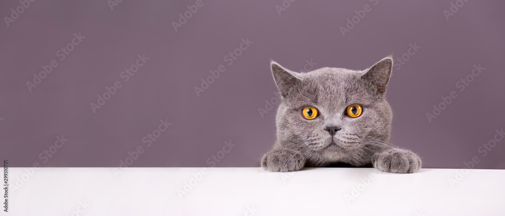 Fototapeta beautiful funny grey British cat peeking out from behind a white table with copy space