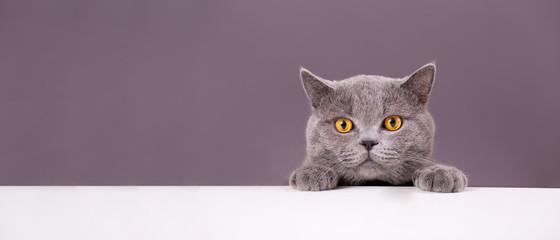 prekrasna smiješna siva britanska mačka koja viri iza bijelog stola s prostorom za kopiranje