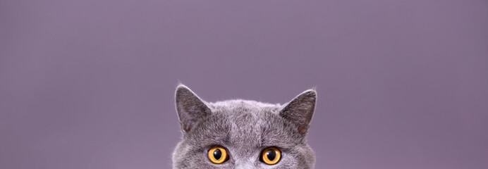 beautiful funny grey British cat peeking out from behind a white table with c...