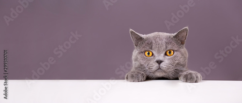 beautiful funny grey British cat peeking out from behind a white table with copy Poster Mural XXL