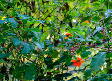 Orange Daisies And Poke Berries In A Woodland Garden