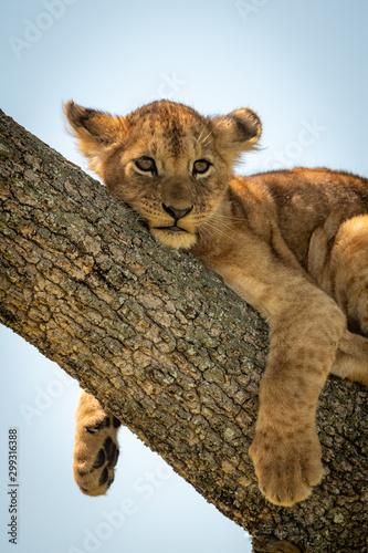 Obraz na płótnie Close-up of lion cub relaxing in tree