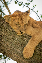 Close-up Of Lion Cub Sleeping In Tree