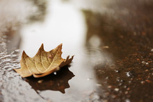 Autumn Leaf In Puddle On Rainy...