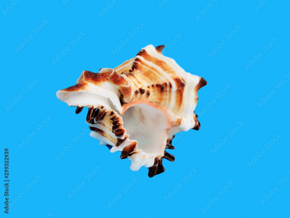 Fototapety, obrazy: Sea shell isolated on a blue background