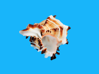 Sea shell isolated on a blue background