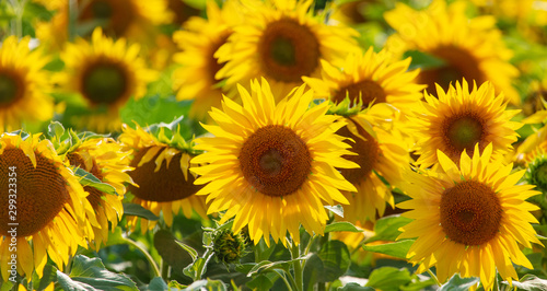 Sunflowers grow in the field