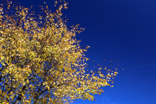 Colourful Autumn Tree Tops To One Side Of A Blue Sky