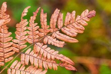 Dry Fern Leaf In Autumn Forest