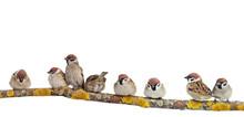 Many Small Funny Birds Sparrow...