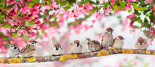 Natural Panoramic Background With Many Small Funny Birds Sparrows Sitting In The Spring Sunny Park Under The Branches Of A Flowering Apple Tree With Pink Buds