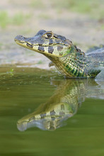 Yacare Caiman (Caiman Crocodyl...