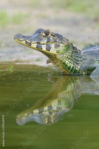 Fototapeta Yacare caiman (Caiman crocodylus yacare) portrait, Pantanal, Mato Grosso, Brazil