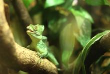 Little Green Iguana Sits On A ...