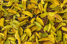 Colorful Autumn Mulberry Leaves Texture