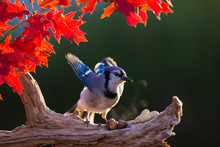 Blue Jay In Autumn